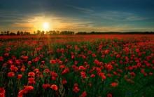 poppy-field-in-the-sunset-flower-hd-wallpaper-1920x1200-4136